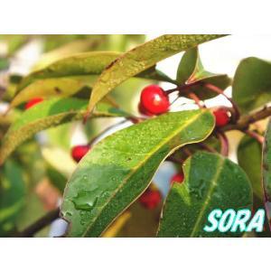 ソヨゴ 株立 樹高H:1800mm e-sora