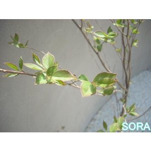 ヒメシャラ 単木 樹高H:1800mm|e-sora