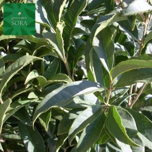 キンモクセイ 単木 樹高H:3000mm|e-sora