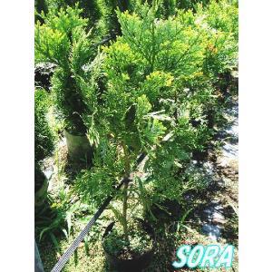 アスナロ H500〜700mm|e-sora