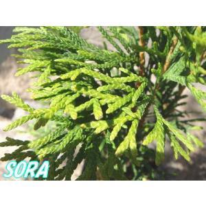 エメラルド 樹高H:2000mm|e-sora