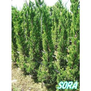 カイズカイブキ 樹高H:1800mm|e-sora