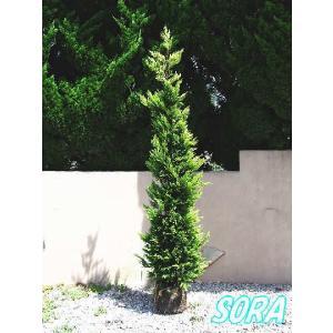 ゴールドライダー 樹高H:1800mm|e-sora