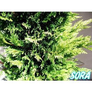 ゴールドライダー 樹高H:2000mm|e-sora
