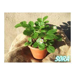 ワイルドストロベリー 鉢植 TE13|e-sora