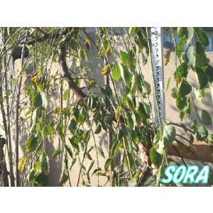 シダレ 梅 ピンク 樹高H:1800mm|e-sora