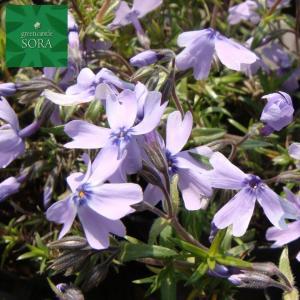 芝ザクラ(紫) 10本