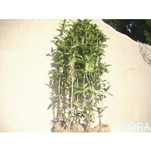 銀木犀H1100〜1300 5本|e-sora