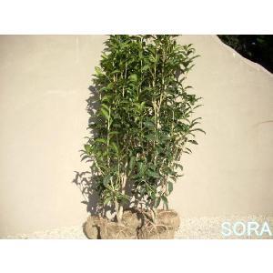 金木犀H1100〜1300 30本|e-sora