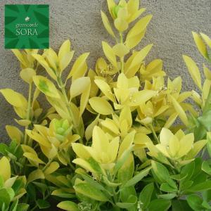 黄金マサキH1100〜1300 10本|e-sora