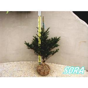 モミノキ 樹高H:1000mm|e-sora
