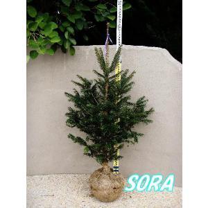 モミの木 樹高H:1200mm|e-sora