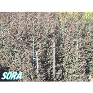 赤葉 紅花常盤満作 樹高H:1800mm|e-sora