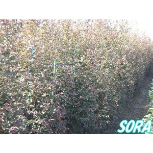 赤葉 紅花常盤満作 樹高H:1800mm|e-sora|02