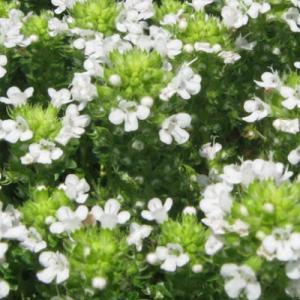 イブキジャコウソウ (花色ホワイト) 9cmポット ハーブの苗|e-tisanes
