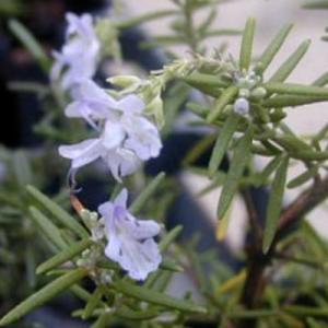 プロストラタス(クリーピング) ローズマリー(匍匐性) 9cmポット ハーブの苗|e-tisanes