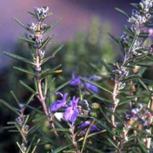 ウッドパープル ローズマリー(半匍匐性) 9cmポット ハーブの苗|e-tisanes