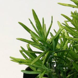 ギルティッシュゴールド(立性) ローズマリー(立性) 9cmポット ハーブの苗|e-tisanes