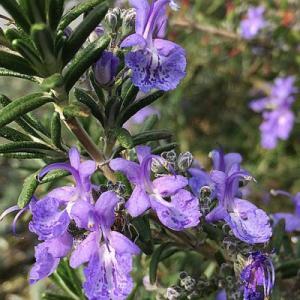 ディープブルー(半匍匐性) ローズマリー(半匍匐性) 9cmポット ハーブの苗|e-tisanes