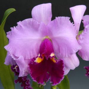 カトレア 花 3輪咲き ライトピンク系 洋ラン 洋蘭