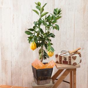 父の日 鉢植え レモン 5号 果樹 フルーツ 2019 プレゼント ギフト|e87ys