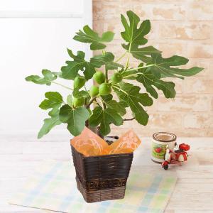 父の日 鉢植え イチジク 5号 果樹 フルーツ 2019 プレゼント ギフト|e87ys