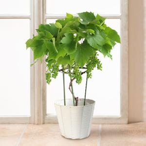 父の日 鉢植え デラウェア 6号 ブドウ 果樹 フルーツ 2019 プレゼント ギフト 送料無料|e87ys