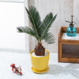父の日 観葉植物 ソテツ 陶器鉢 2019 プレゼント ギフト|e87ys
