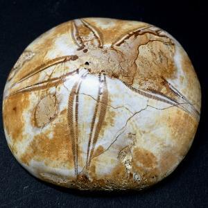 ウニの化石iw150528a15|eastwave