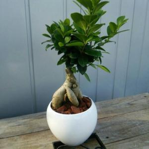 観葉植物 送料無料 おまけがついてくる 観葉植物 幸福 ガジュマル 陶器 インテリア 卓上 プレゼント オフィス 新築
