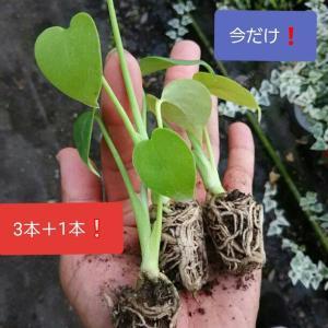 一番人気!観葉植物 送料無料! モンステラ 観葉植物 金運 小さい 苗