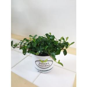 観葉植物 送料無料 幸福のつる性ガジュマル ポスト投函 インテリア プレゼント