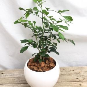 送料無料 大人気 シルクジャスミン 観葉植物 陶器鉢