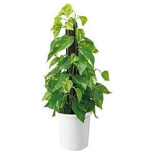 コクヨ 人工植物〈アイレストグリーン〉 ポトスポール 高さ550mm PX-GPHT102|economy