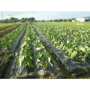 【とろける!伝統の大和野菜!】奈良県天理市産GREXの里芋【味間芋】2L特選 1kg|ecorex|02