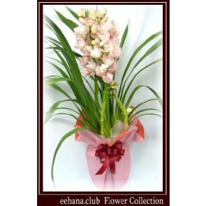 シンピジューム 豪華 高級感のあるお花 エンジェルフェザー  7,000円 お歳暮新年のご挨拶対応|eehana