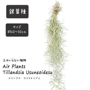 エアプランツ ウスネオイデス 太葉 40cm〜50cm スパニッシュモス エアープランツ チランジア 観葉植物