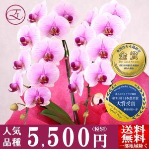 <大変ご好評のため、ただいま開花五分咲きにて出荷中!>  種類:ミディ胡蝶蘭 MS-Pink 「Ap...