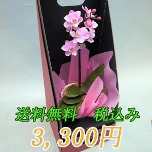 マイクロ胡蝶蘭 ピンク、赤系 1本立ちの商品画像