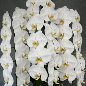 白の当店厳選の大輪胡蝶蘭3本立ちを特別価格にて販売中です!!お値段以上に品質には大変こだわっておりま...