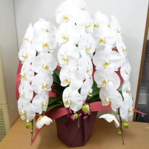 【立て札可】胡蝶蘭 3本立 ホワイト系 生花 こちょうらん コチョウラン 引越し祝い 開店祝い 開業祝い 開院祝い|elfleur