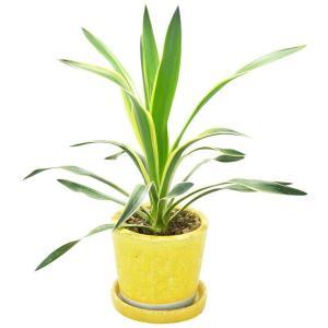 観葉植物 ユッカ グロリオサ イエロー陶器鉢入 elfleur