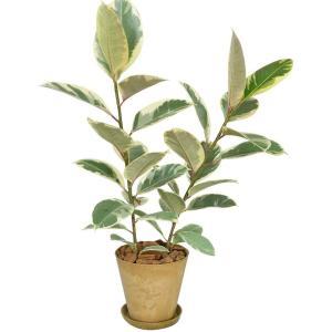 観葉植物 フィカス・ティネケ ゴムの木 アートストーン植 受皿付き|elfleur