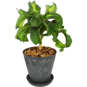 観葉植物 ドラセナ トルネード アートストーン植 受皿付 elfleur