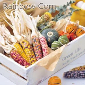レインボーコーン栽培キット GD655 レインボーコーン グラスジェムコーン ジュエリーコーン 虹色とうもろこし トウモロコシ 観賞用 オーナメント|emiook