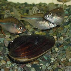 イシガイ5匹/イシ貝/淡水二枚貝/産卵/繁殖 川魚|emuwaifarm