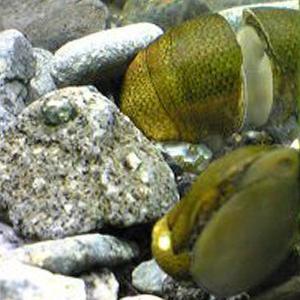 石巻貝10個/淡水/コケ取り/淡水貝/川魚