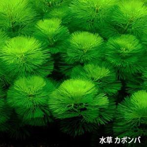 水草 カボンバ<10本>メダカ 金魚藻 アクアリウム  定形外送料無料|emuwaifarm