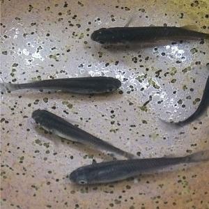 メダカ 黒龍(スーパーブラック透明鱗) 30匹 めだか 変わりメダカ|emuwaifarm