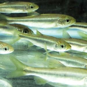 カワムツ 10匹(M)8cm〜12cm前後 タナゴ 淡水魚 川魚